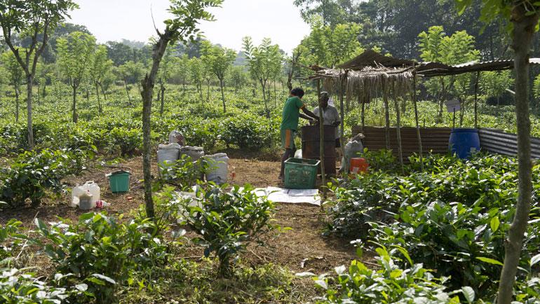 Biochar application in Dilmah's Tea fields