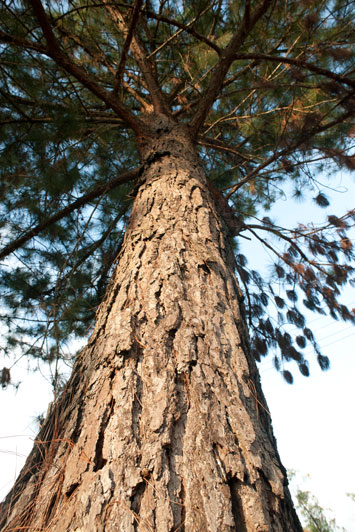 Photograph of a Tall Tree