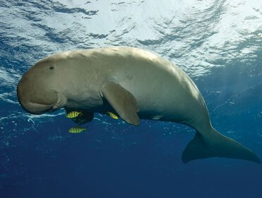 A Photo of a Dugong Under the Sea