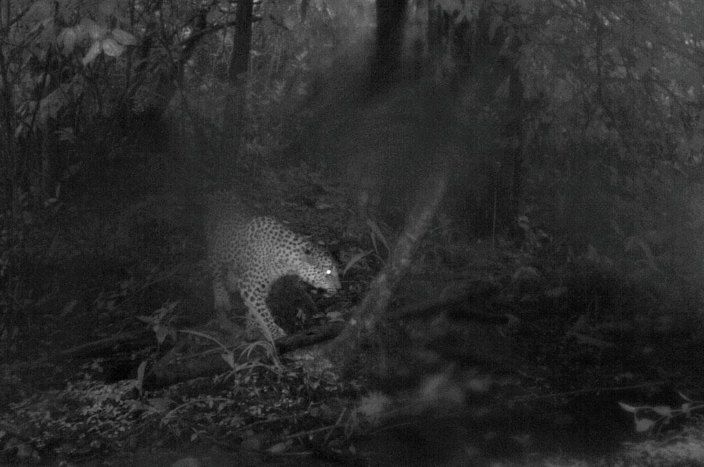Ring-tailed Civet