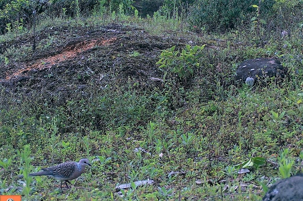 Sri Lanka Woodpigeon