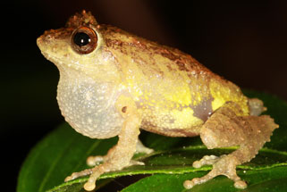 Pseudophilautus Dilmah, a new species of shrub frog