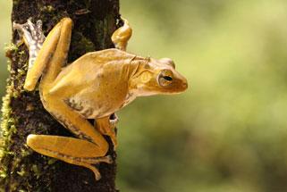 Frog Species Amphibia Anura Rhacophoridae