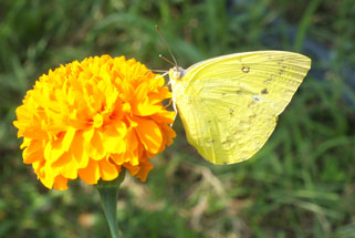 Photo of a Butterfly by a Zinnia Flower