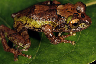 Species of a Frog Called Pseudophilautus