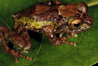 Eight New Species of Pseudophilautus (Amphibia: Anura: Rhacophoridae) from Sripada World Heritage Site (Peak Wilderness), A Local Amphibian Hotspot in Sri Lanka