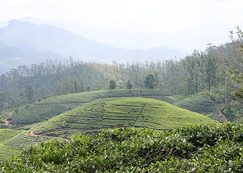 Hill of Tea Plantation
