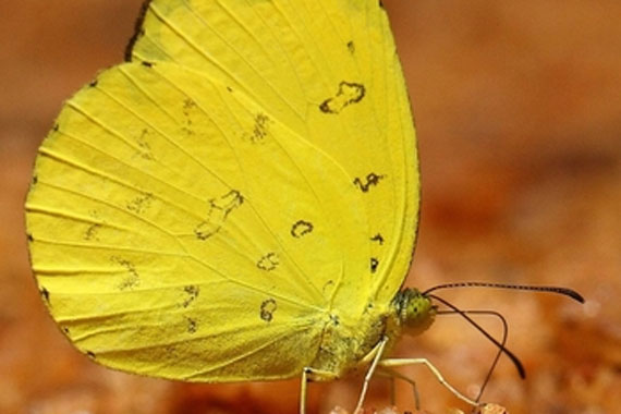 Photograph of a Common Brimstone Butterfly