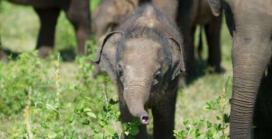 Photograph of a Baby Elephant with Adult Elephants