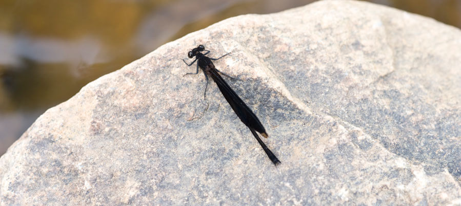 Photograph of a Damselfly on a Rock