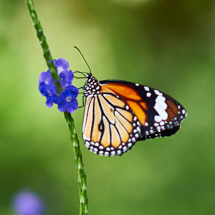 Photograph of Danaus Genutia Butterfly