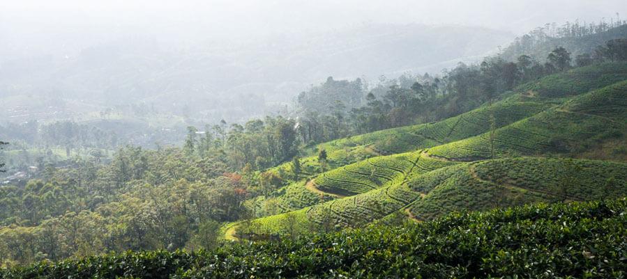 Beautiful Scenery of Hillside by the Tea Fields