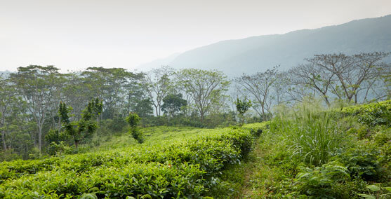Linking Nature through Tea Gardens