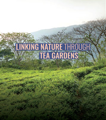 Linking Nature by Planting Tea Plants