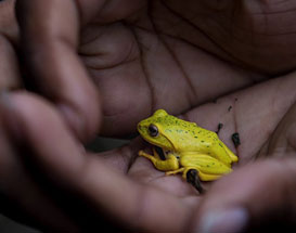 Endemic to our Island – A frog named Dilmah