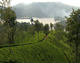 Tea Plantation on a Hill